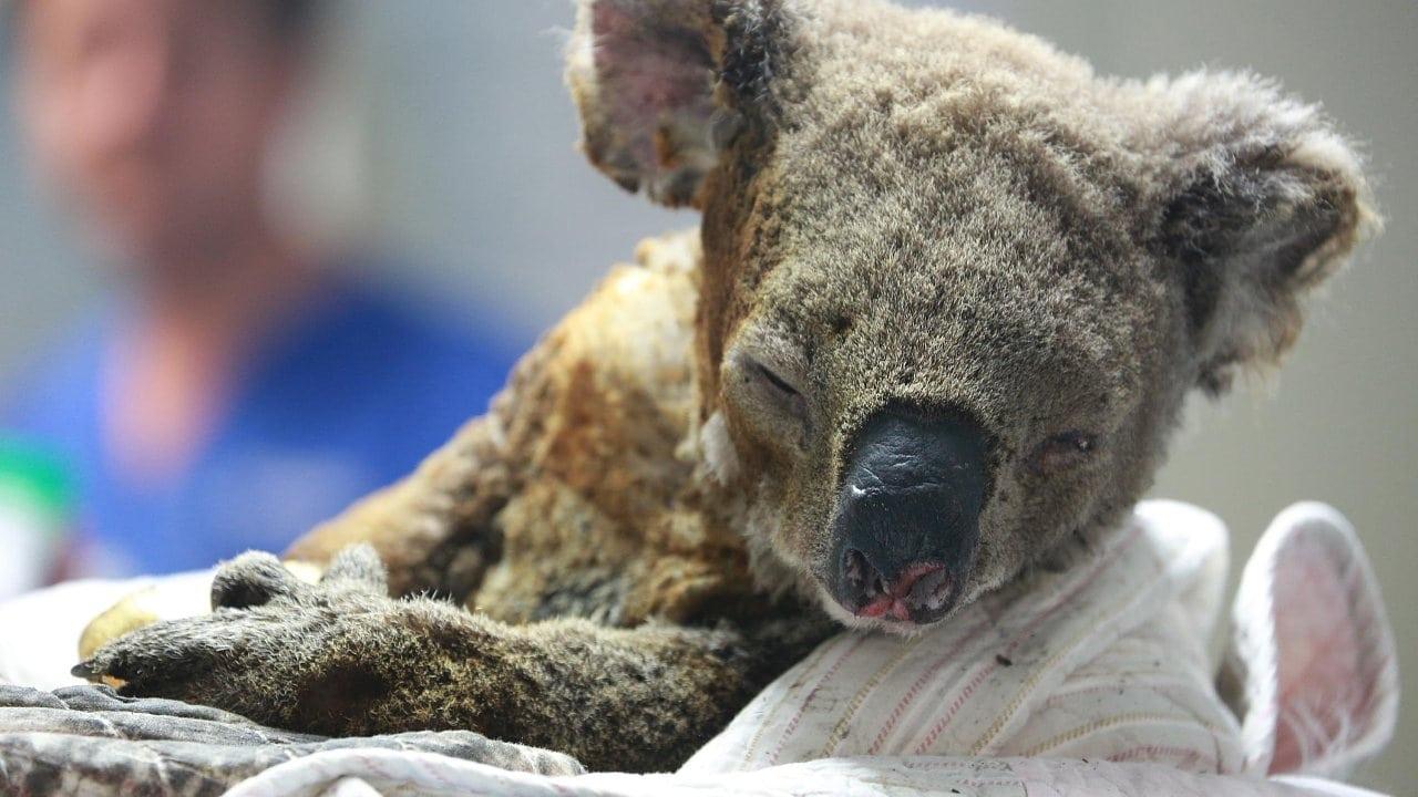 Bedrohte Beuteltiere : Sterben die Koalas durch die Feuer aus?