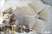 Fossilien: Schon frühe Knochenfische knabberten an Flossen