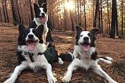 Border Collies to the rescue!