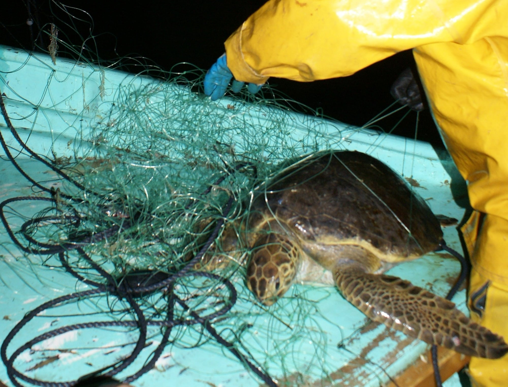sea turtle bycatch Sea turtle bycatch bycatch is one of the most serious threats to the recovery and conservation of sea turtles many us fisheries have rules in place to reduce sea turtle bycatch, and cooperative fishing gear research with fishermen is ongoing.