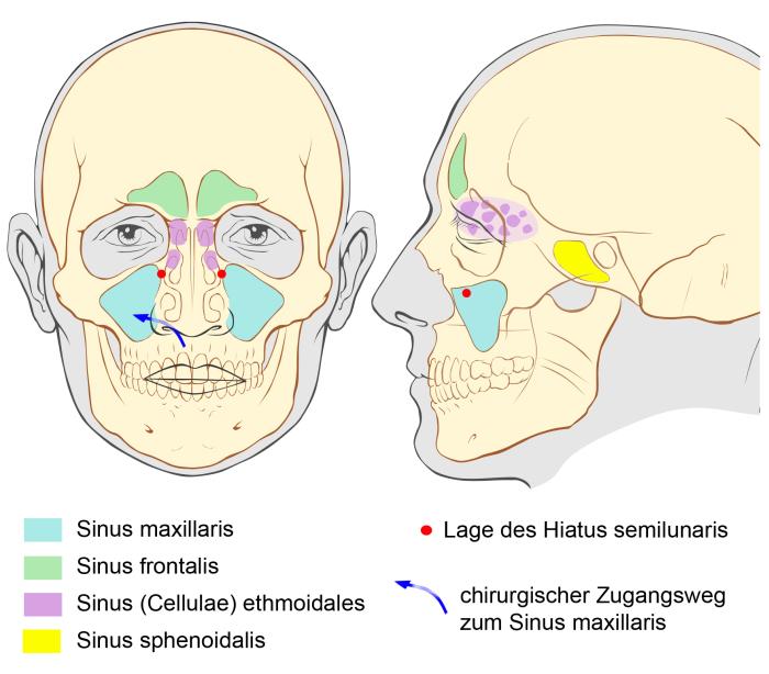 Nasennebenhöhle - Sinus paranasales || Med-koM