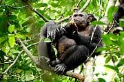 Tierische Gourmets: Schimpansen knacken Schildkröten