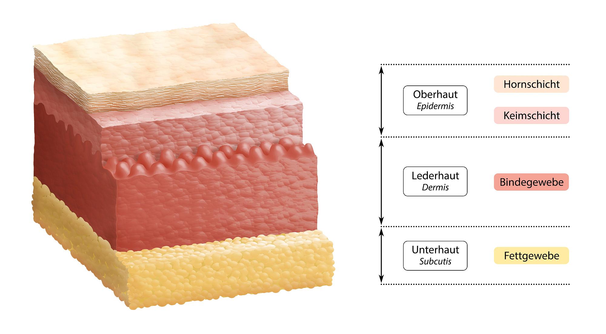 Die zweite Haut aus dem Labor - Spektrum der Wissenschaft