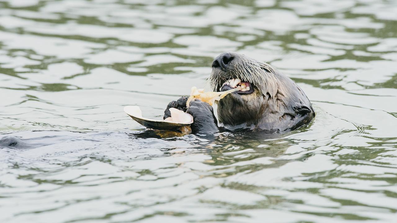 Ökosysteme: Otter sorgen für Seegras-Sex