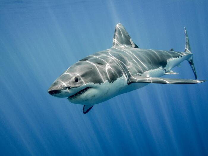 Best Shark Tattoo Designs