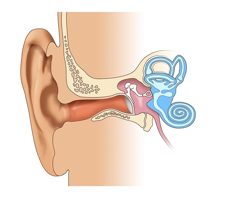 Entwicklungsbiologie: Patchwork in unserem Ohr - Spektrum der ...