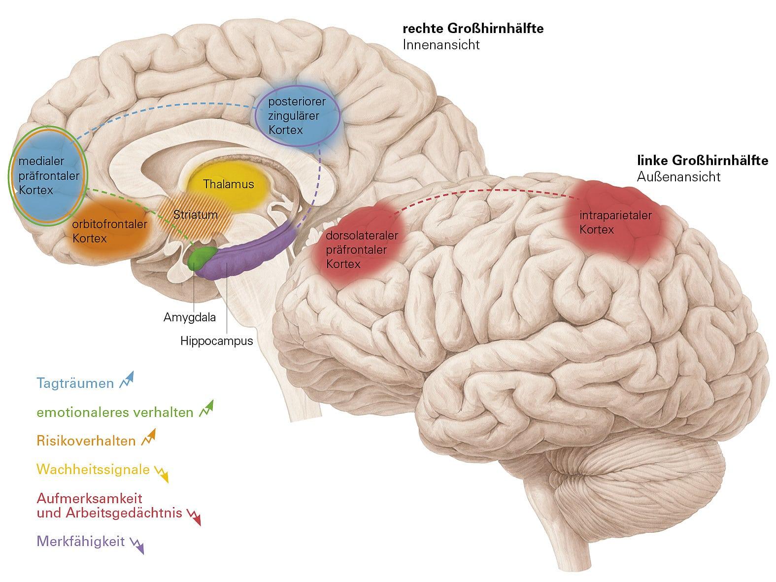Beste Markiertes Menschliches Gehirn Modell Galerie - Anatomie Von ...