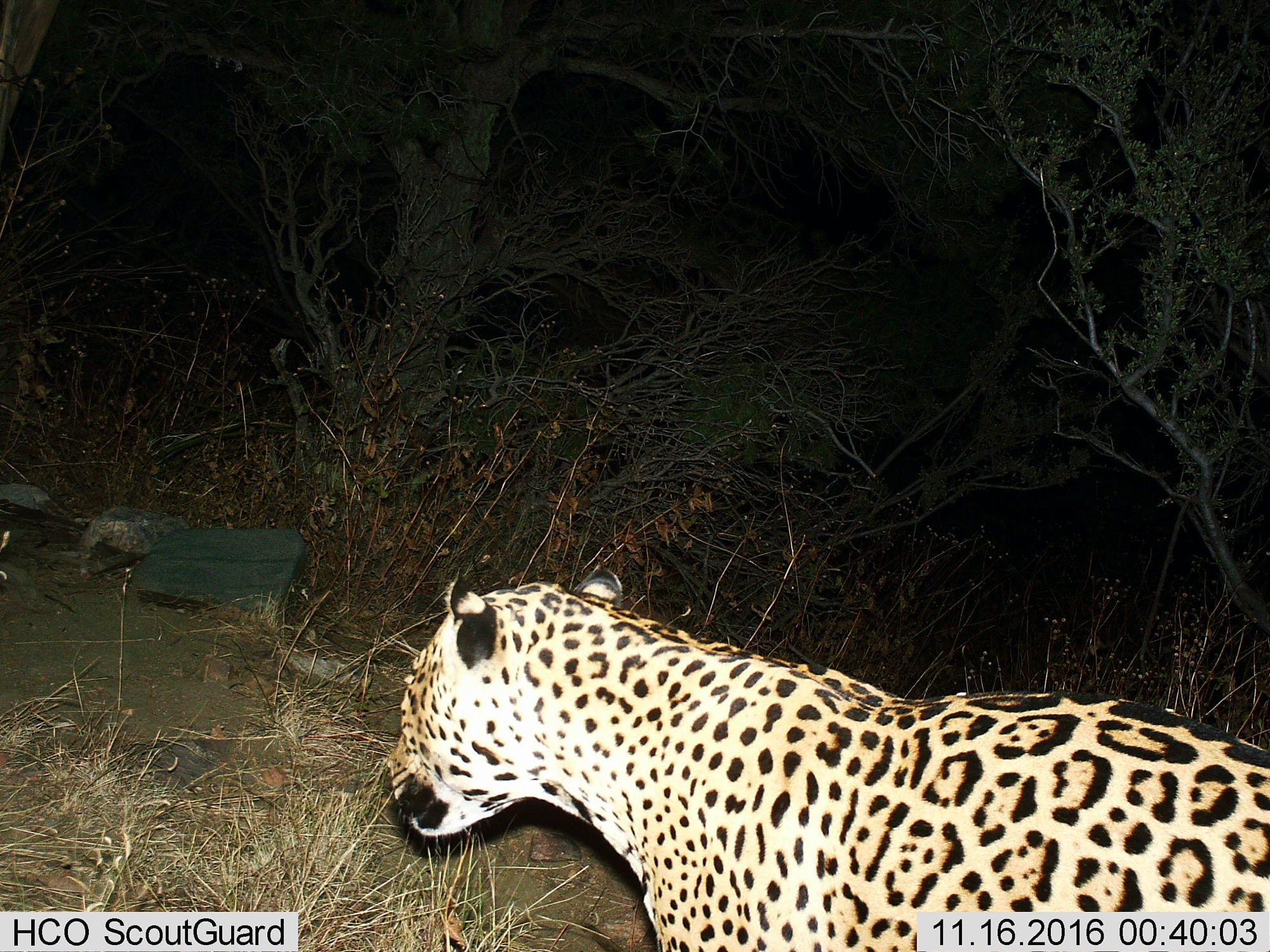 ein Jaguar in den Dos Cabezas Mountains