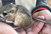 Artenvielfalt: Knuffige Kängururatte nach Jahrzehnten wiederentdeckt