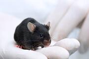 Tierversuche: Die Abkehr von keimfreien Labormäusen