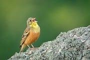 Artenschutz: Gourmets bedrohen europäischen Singvogel