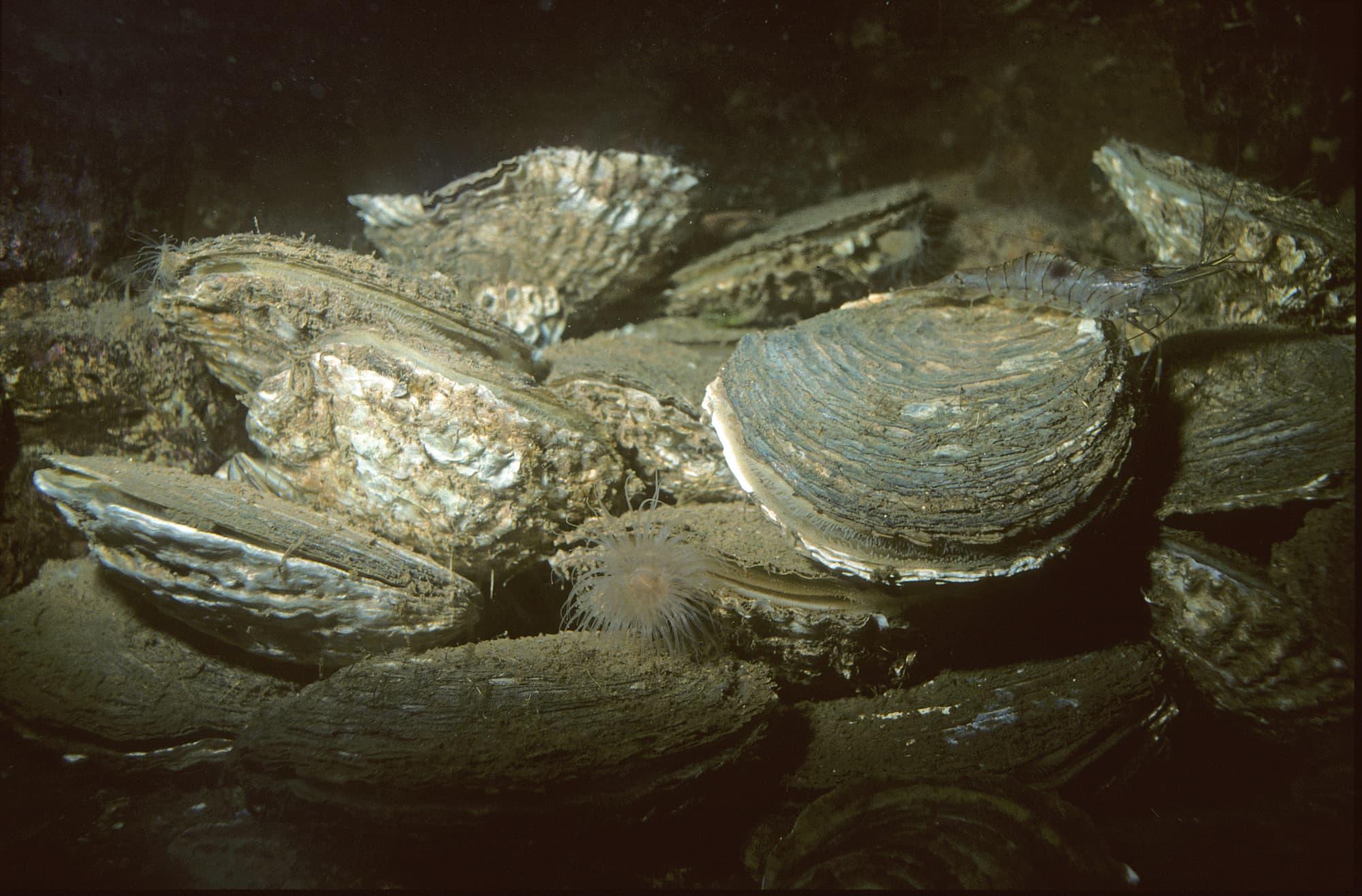 Europäische Austern bildeten einst die »Riffe der Nordsee«