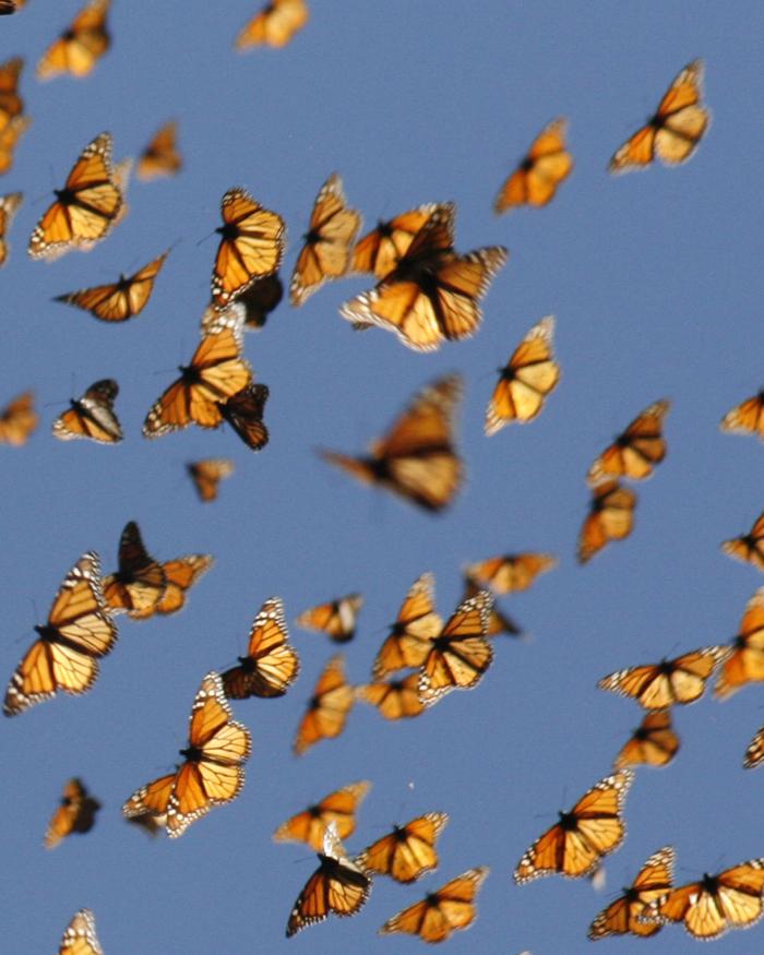 Bildergebnis für Bilder  Monarchfalter