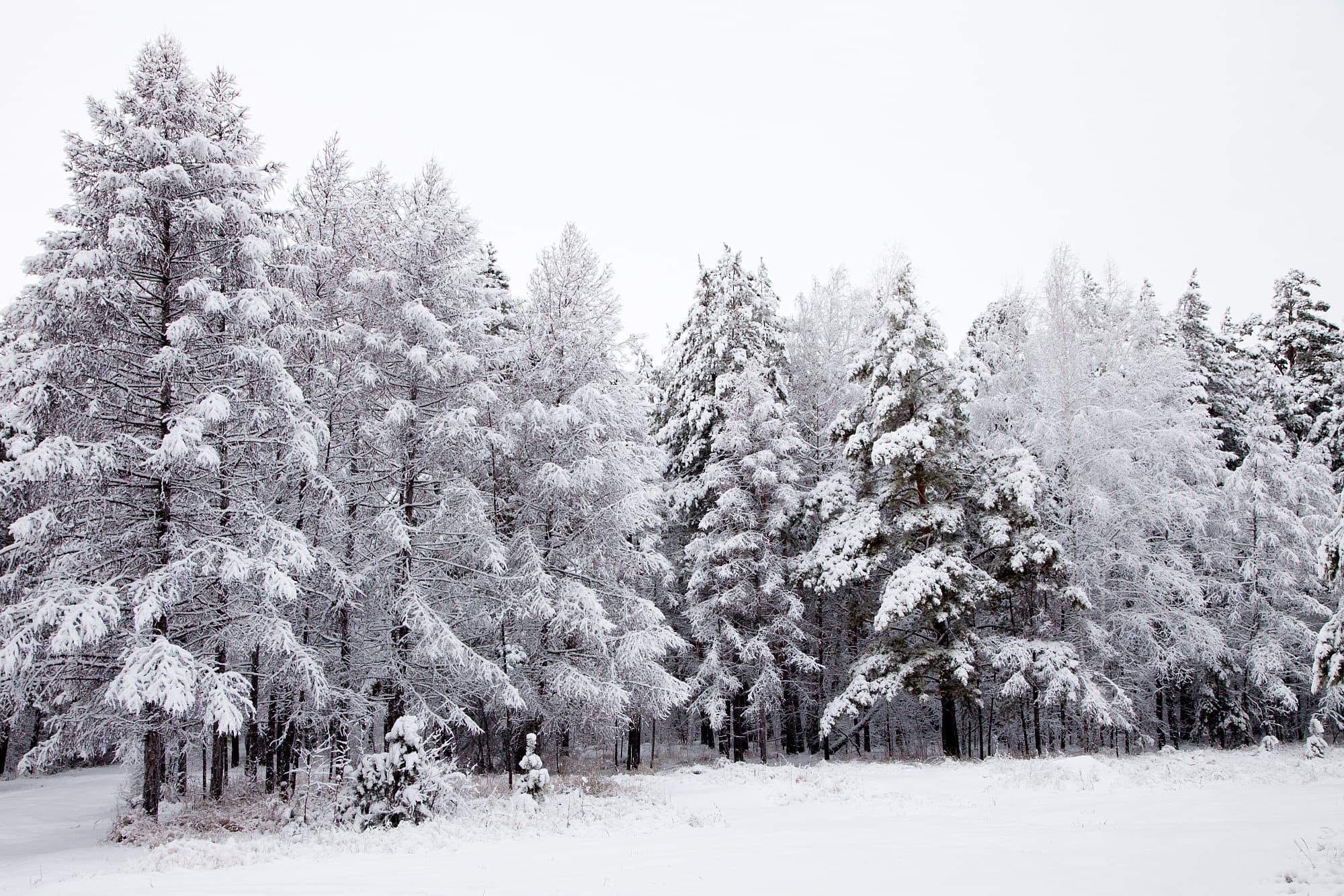 Tolle Tannen: Sechs erstaunliche Fakten über Weihnachtsbäume ...