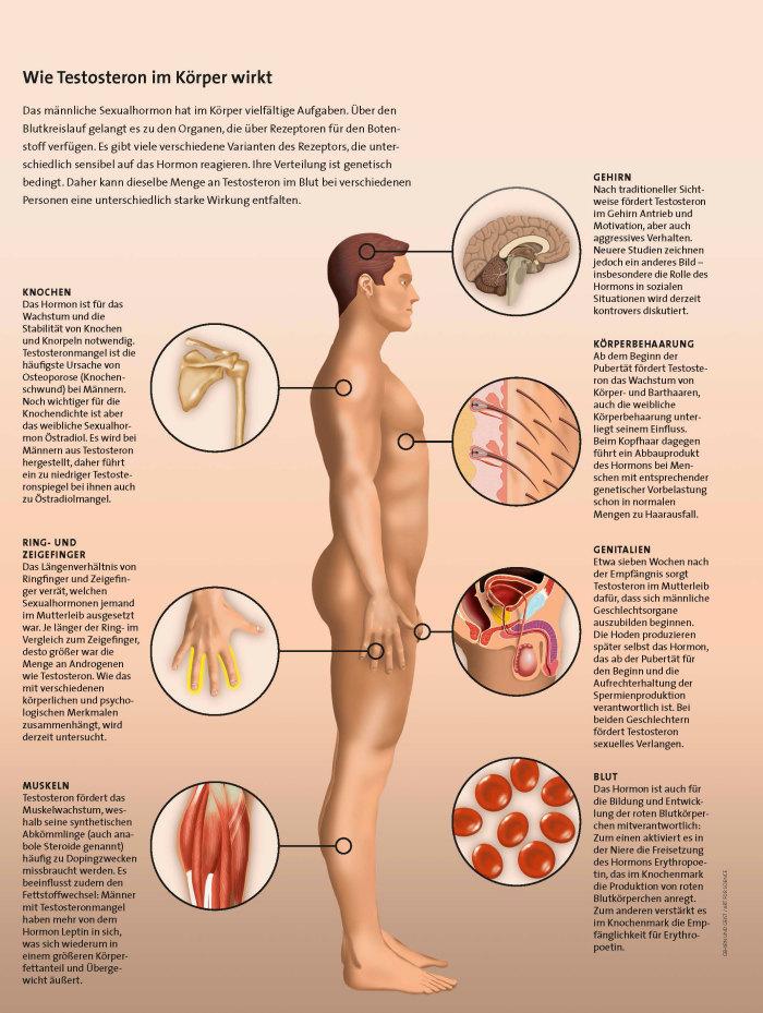 männliche und weibliche hormone