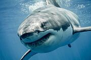 Evolution: Zähne und Haihaut haben gemeinsamen Ursprung