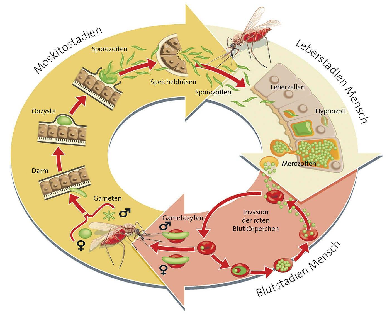 Malaria Zyklus
