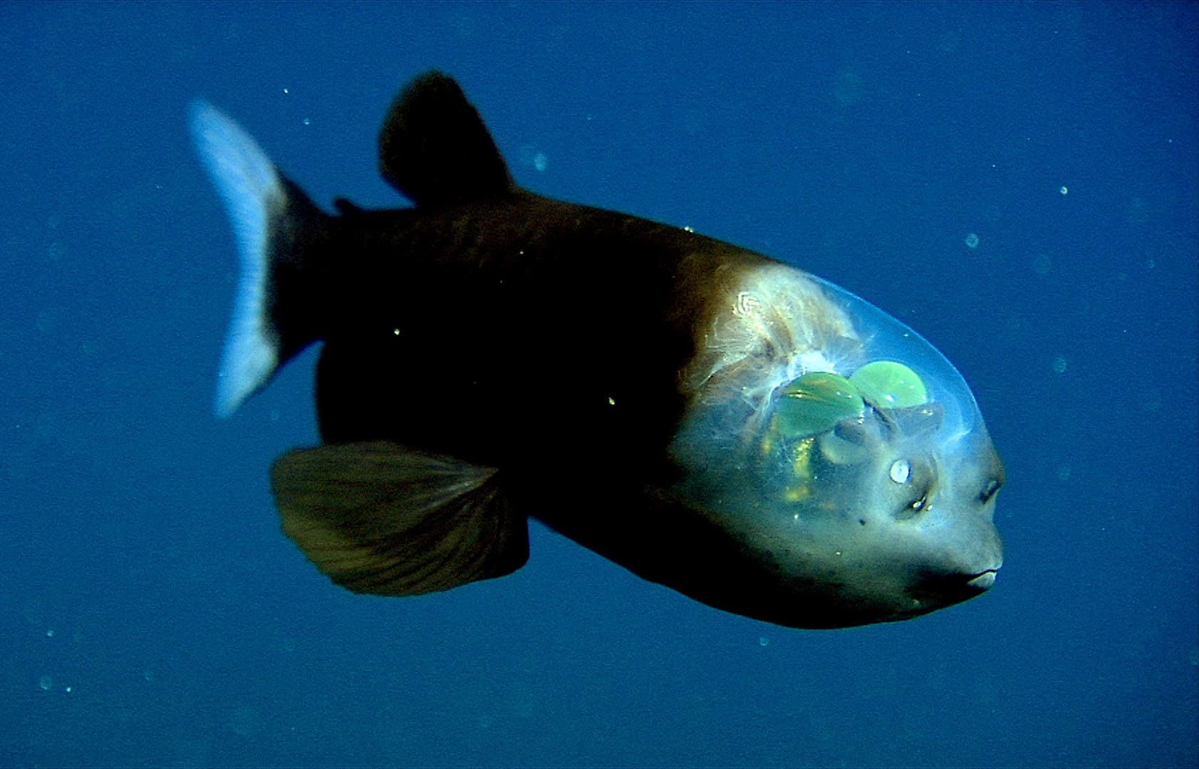 Barreleye fish, Macropinna microstoma