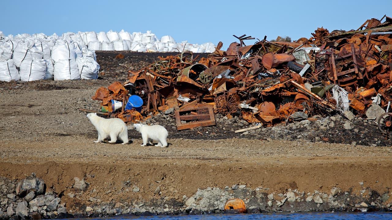 Arktis: Dutzende Eisbären belagern erneut russische Stadt