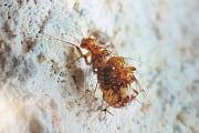 Evolutionäre Neuerung: Weibliche Höhleninsekten pumpen Männchen leer