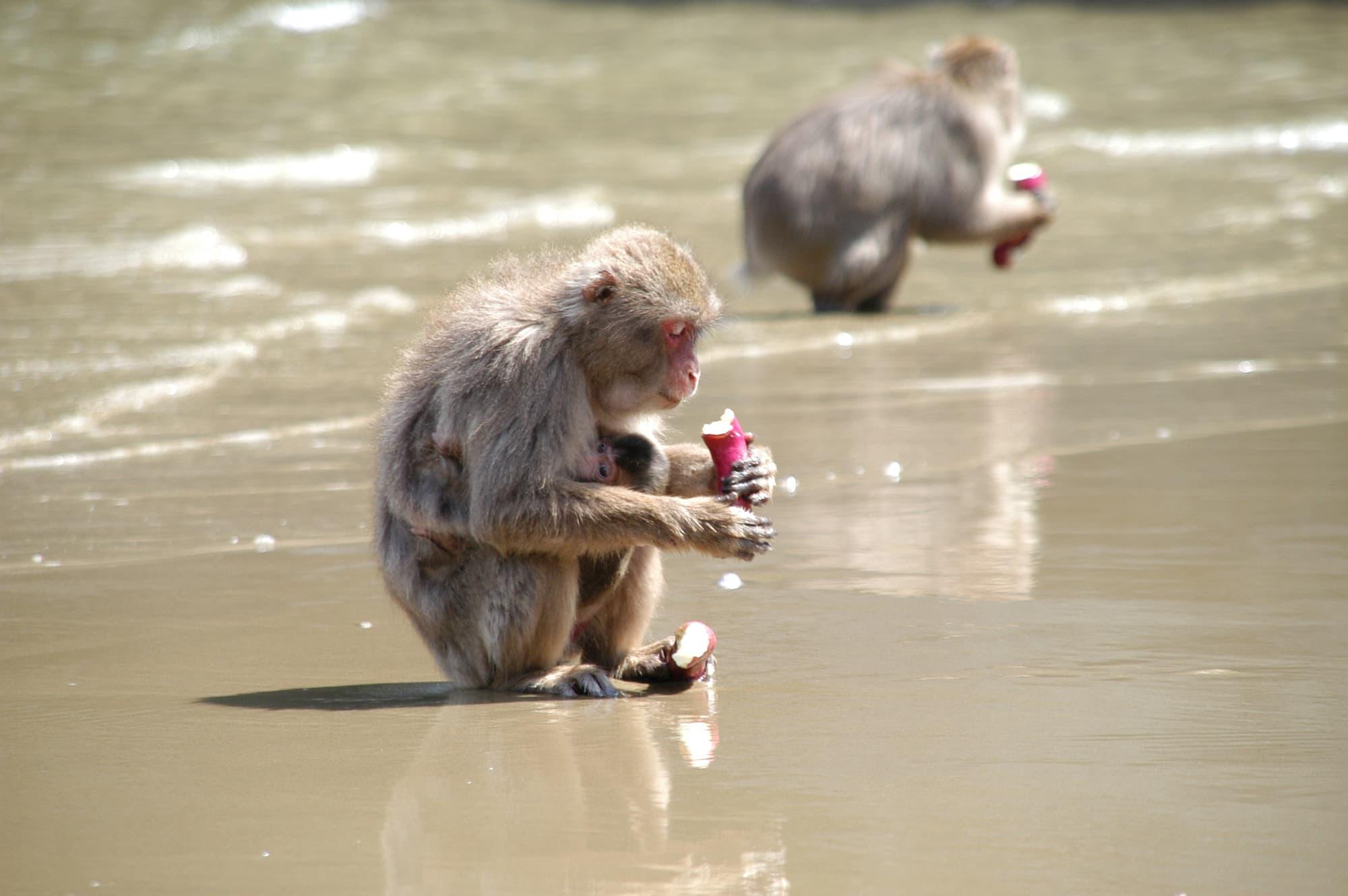 Affen 10 Gründe Warum Man Makaken Einfach Lieben Muss Spektrum
