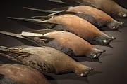 Artensterben: Die Wandertaube starb auch wegen ihrer Gene aus