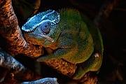 Bilder der Woche: Wenn das Chamäleon blau leuchtet
