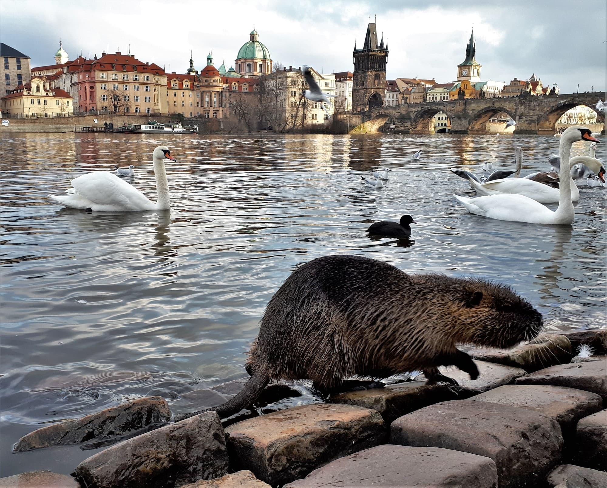 Nutria in Prag