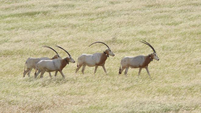 Oryx-Antilopen im Tschad