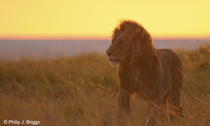 south african sunsets with lions