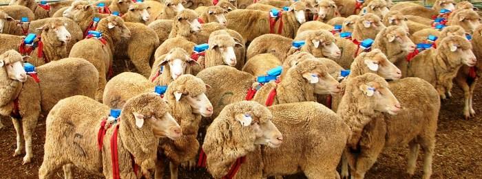 Herde  Hirtenhunde: Zwei simple Tricks bringen die Herde ans Ziel ...