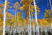 Bäume: Größtes Lebewesen der Erde stirbt
