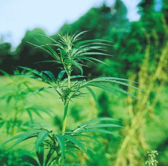 cannabis sativa lexikon der arzneipflanzen und drogen. Black Bedroom Furniture Sets. Home Design Ideas