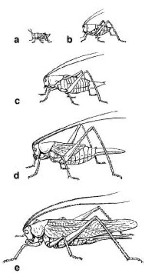 Heuschrecken - Lexikon der Biologie
