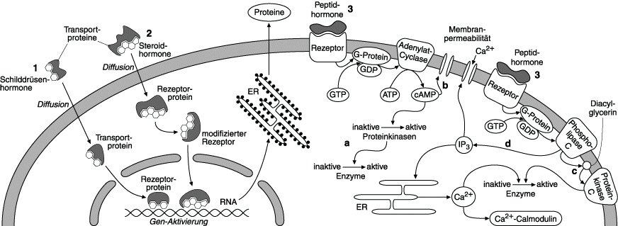 Hormone - Lexikon der Biologie