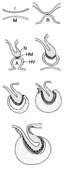 Hypophyse - Lexikon der Biologie