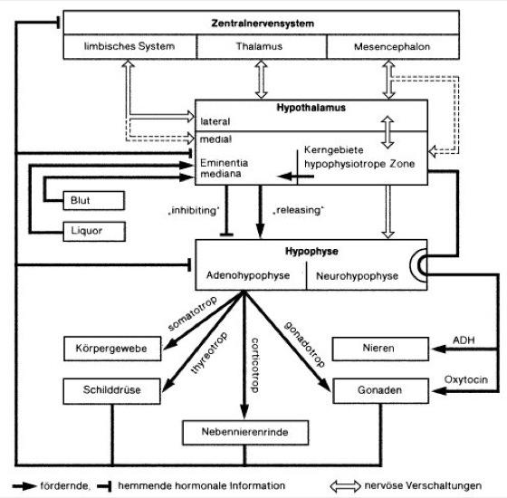 hypothalamisch-hypophysäres System - Lexikon der Biologie