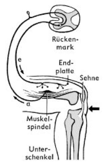 Kniesehnenreflex - Lexikon der Biologie