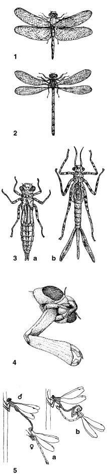 Libellen - Lexikon der Biologie