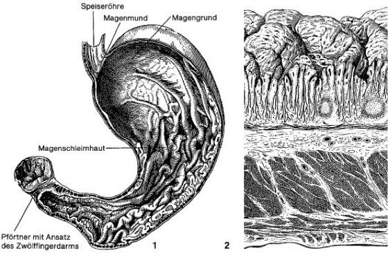 Magen - Lexikon der Biologie