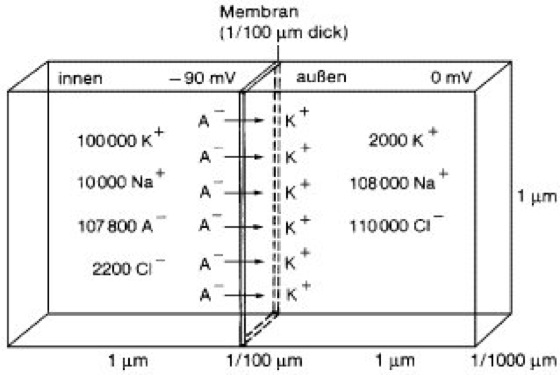 Membranpotential - Lexikon der Biologie