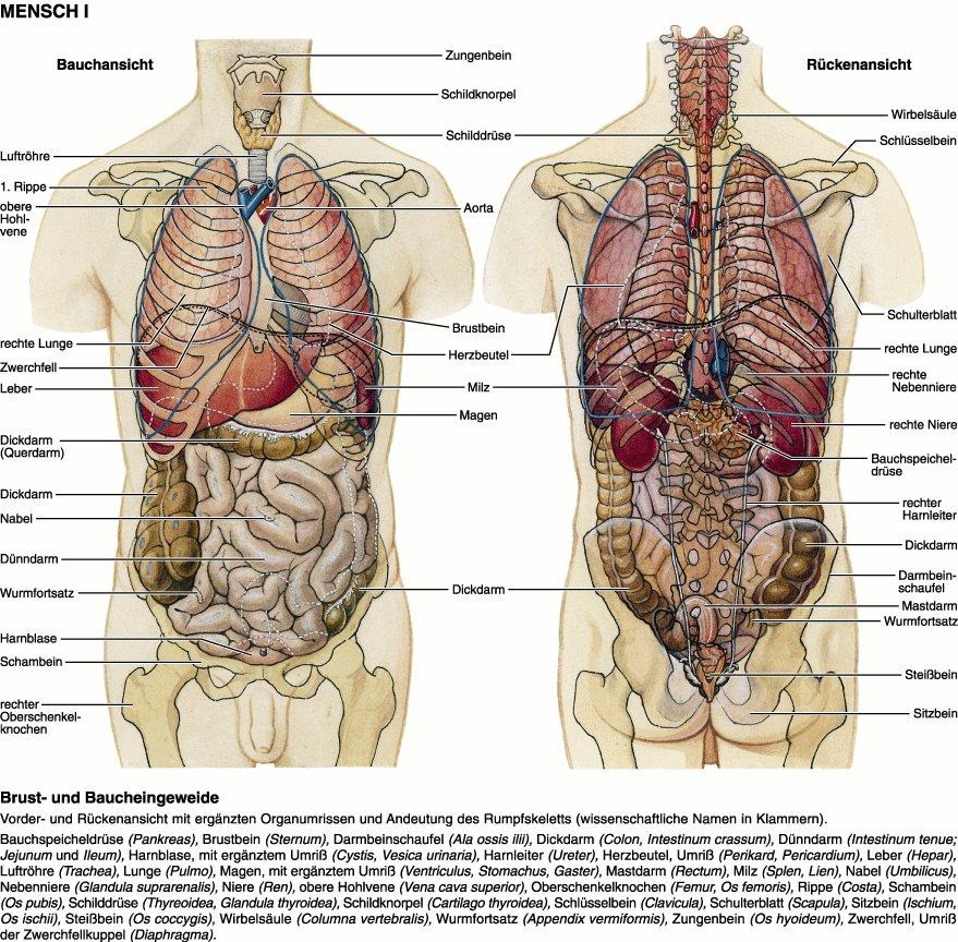 Großartig Anatomie Untere Hohlvene Ideen - Anatomie Ideen - finotti.info