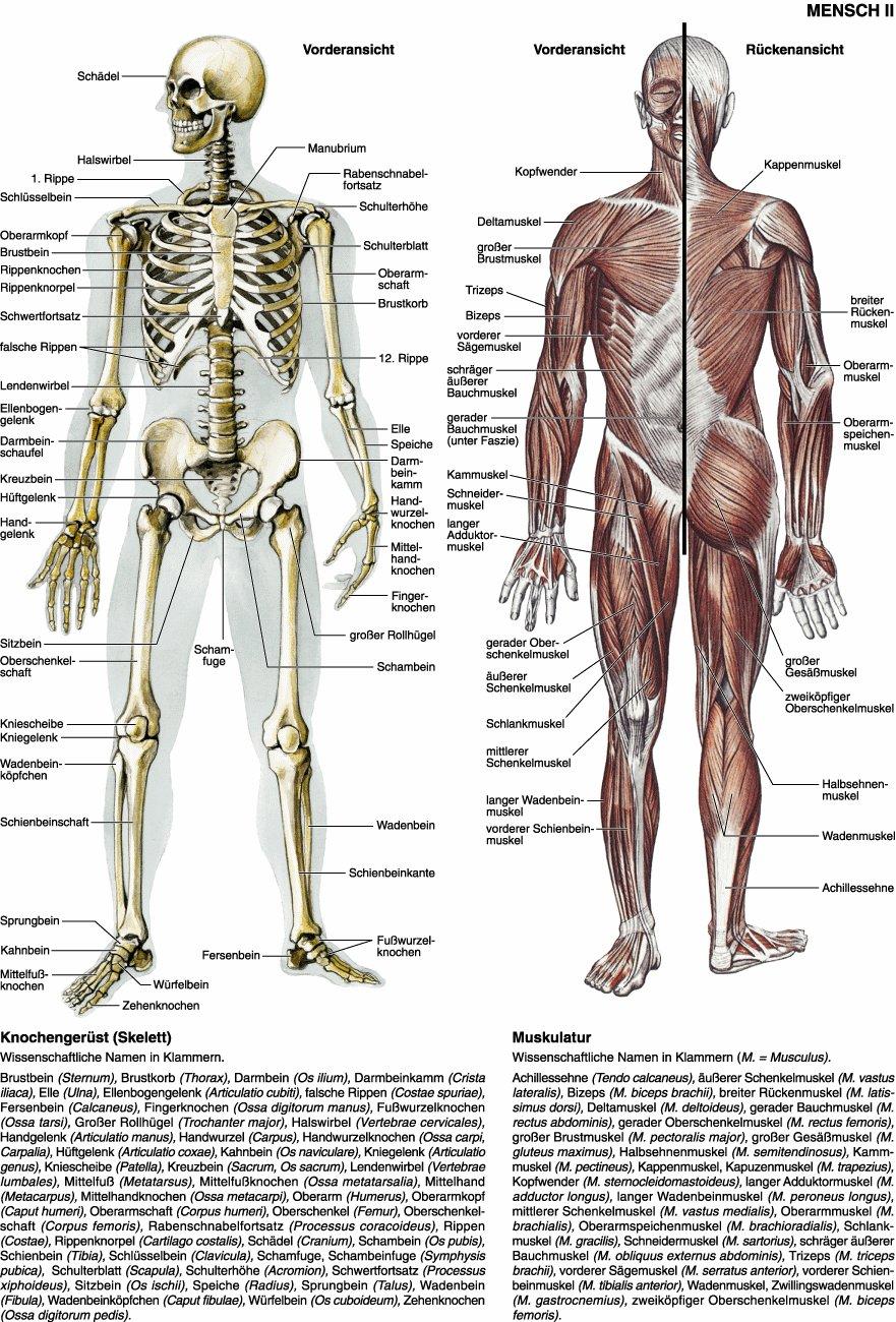 Wunderbar Menschliche Anatomie Knochen Und Muskeln Ideen ...