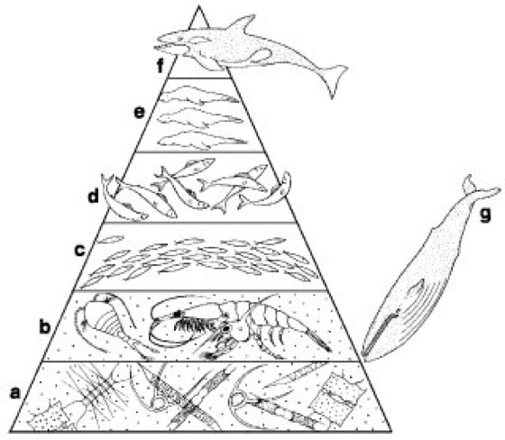 Nahrungspyramide - Lexikon der Biologie
