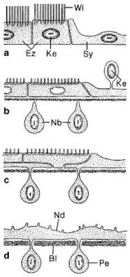 Neodermis