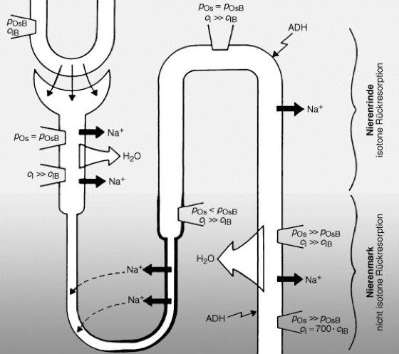 Niere - Lexikon der Biologie