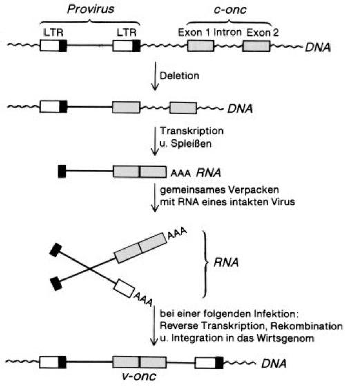 Onkogene - Lexikon der Biologie