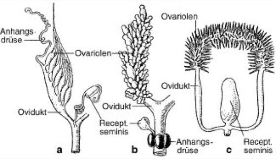 Ovar - Lexikon der Biologie