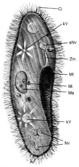 Pantoffeltierchen