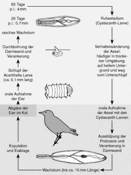 parasitismus - Koevolution Beispiele